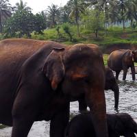 orphelinat_des_elephants_asie_sri_lanka_depeeka_trail