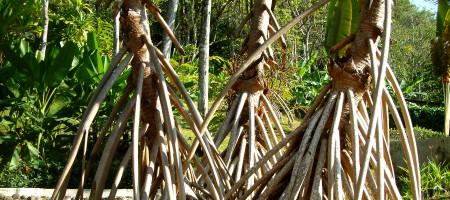 racines_arbres_amerique_costa_rica_les_noces_de_feu